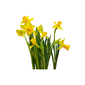 Narciso pote 11 cm quadrado