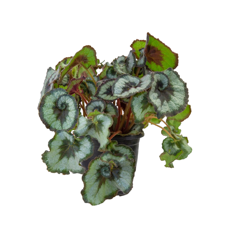Begonia Caracol pote 17