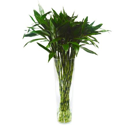 25 Hastes de Dracena Sanderiana Verde- vaso não incluso