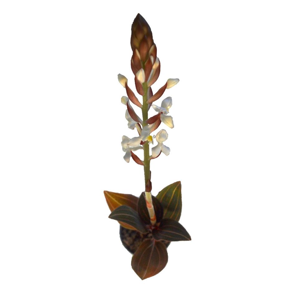 Orquídea Ludísia<br>pote 08 cm