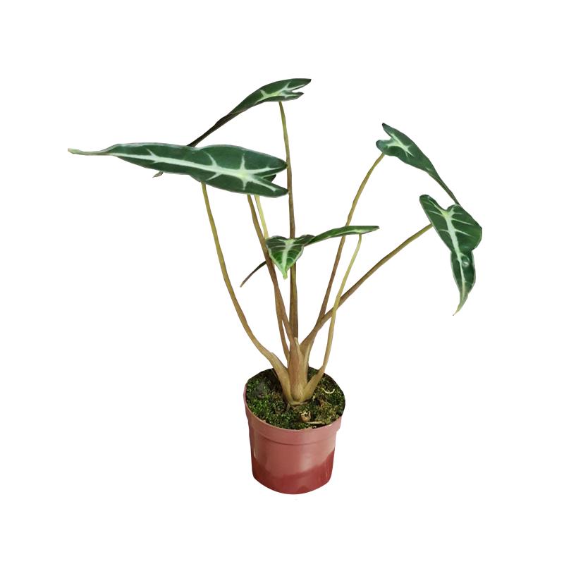 Alocasia Picollini pote 6 cm