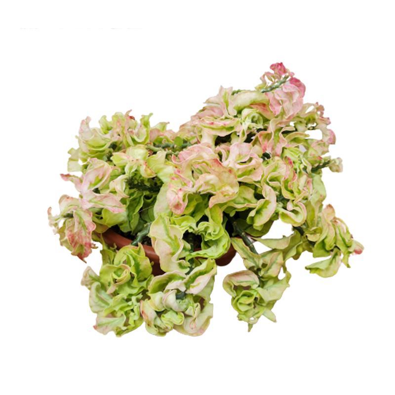 Pedilanthus ondulado cuia 21 cm