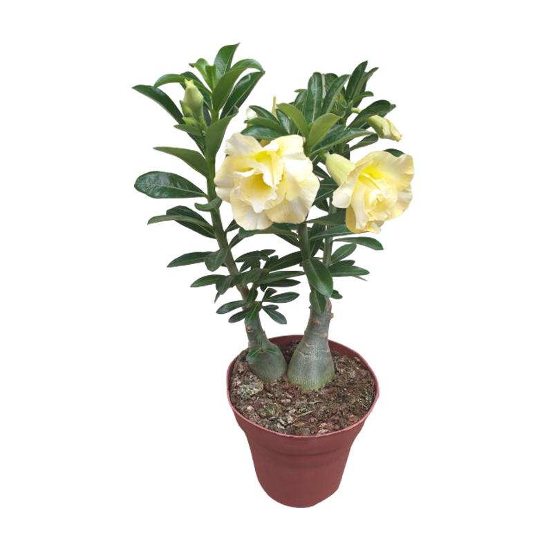 Rosa do Deserto Amarelo Claro pote 15 cm