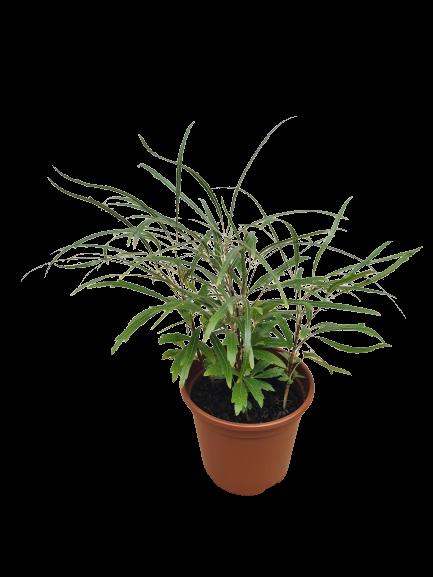 Aralia Elegantíssima pote 11 cm