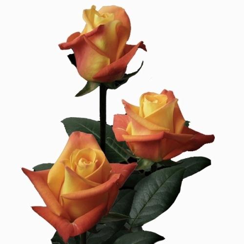 Rosa Voodoo 40 cm <br>maço com 18 hastes