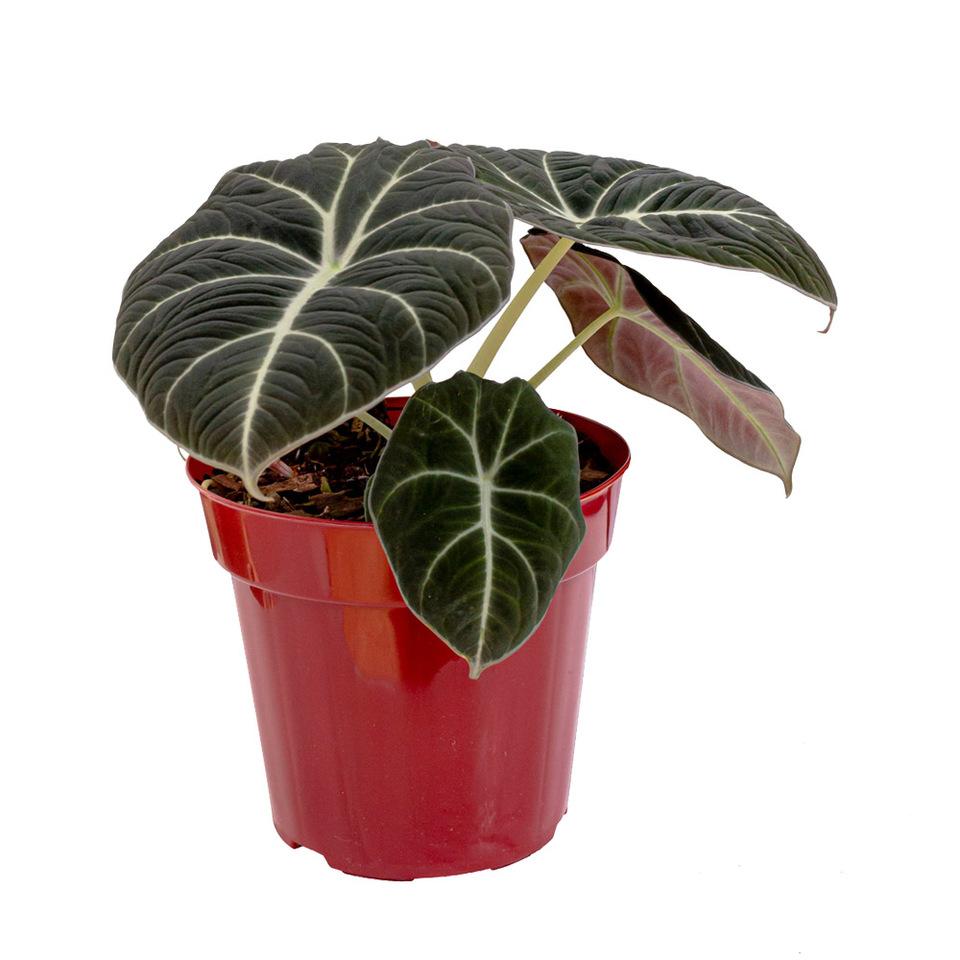 Alocasia Black Pote 12 cm