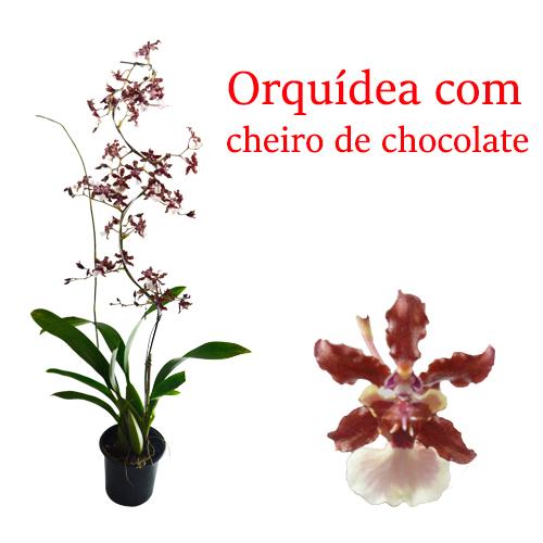Orquídea Chocolate em  Espiral <br> Sharry Baby  pote 15 cm