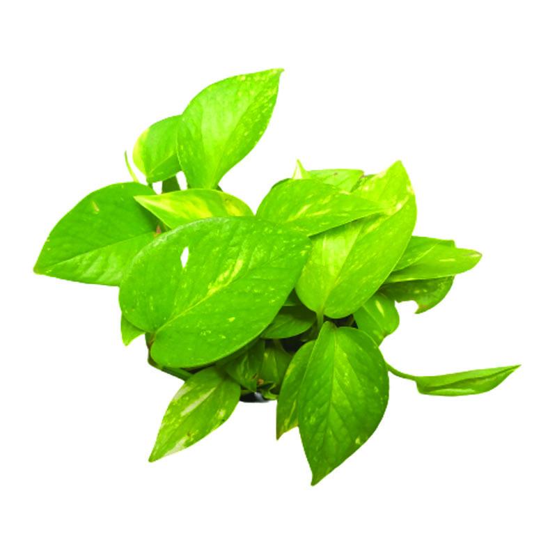 Jibóia verde pote 11 cm