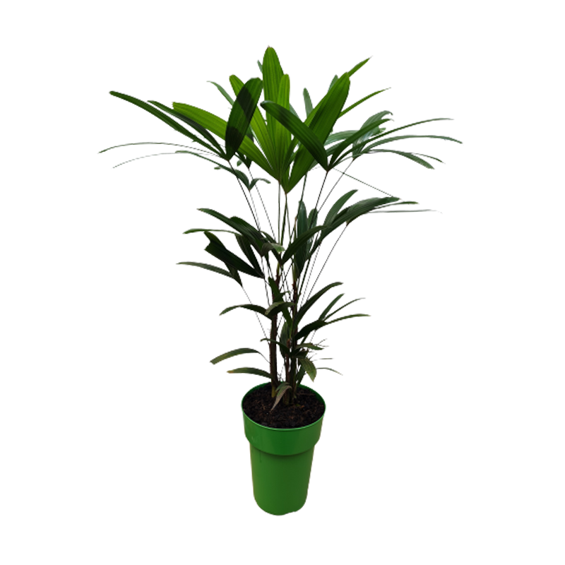 Palmeira Raphis pote 17 cm
