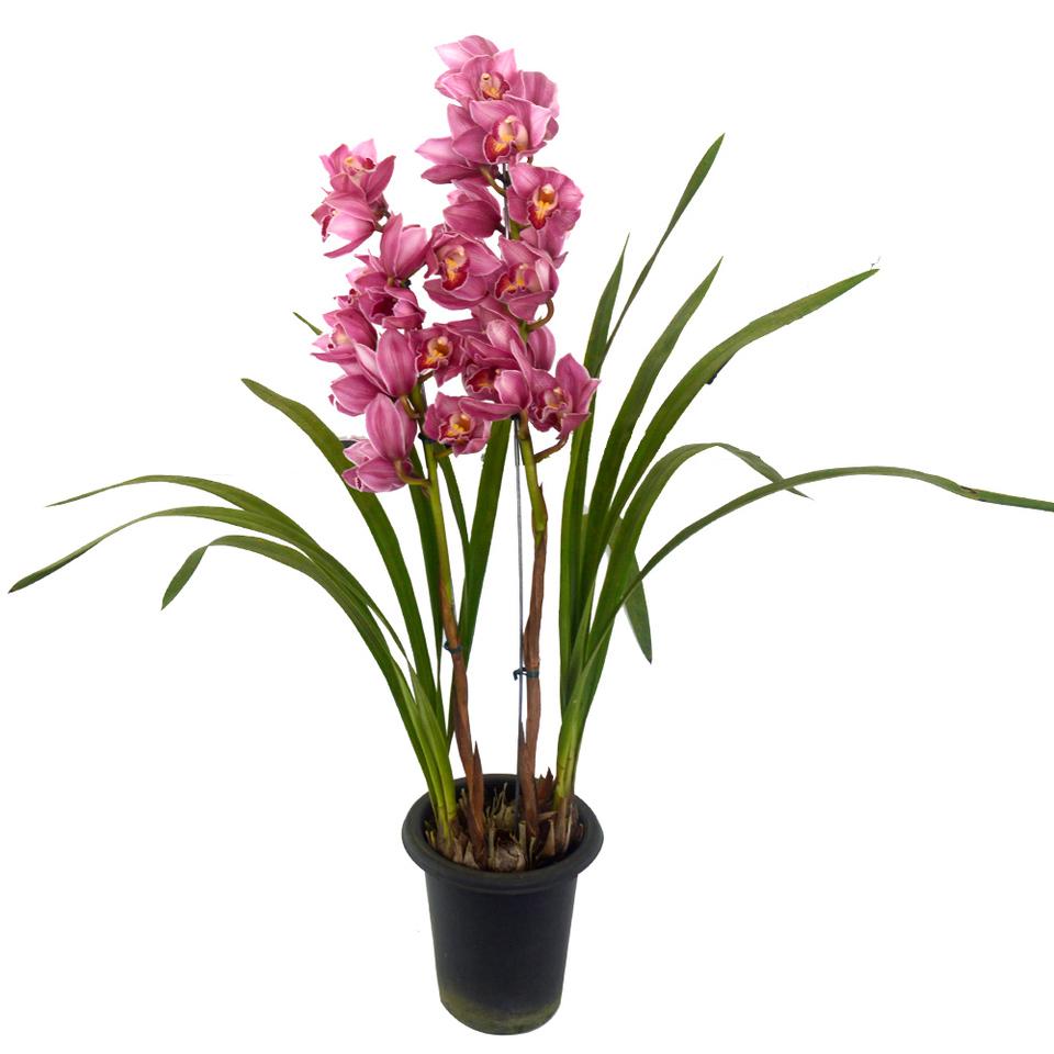 Orquídea Cimbídio Pink<br> pote 18 cm