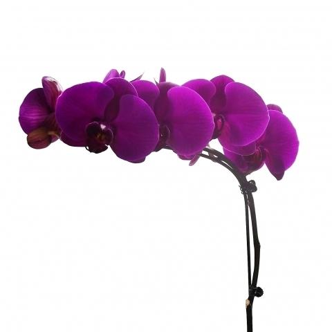 Orquídea Phalaenopsis Roxa<br>pote 15 cm