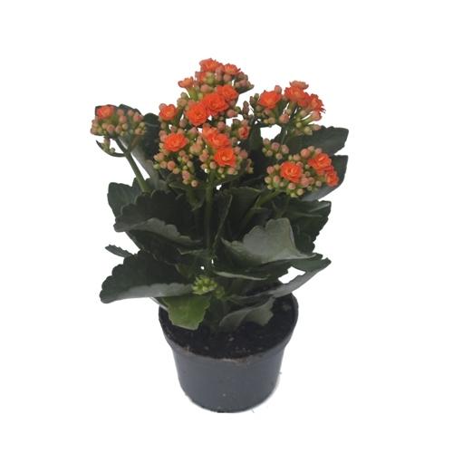 Flor da Fortuna - Kalanchoe <br> dobrado pote 11 cm