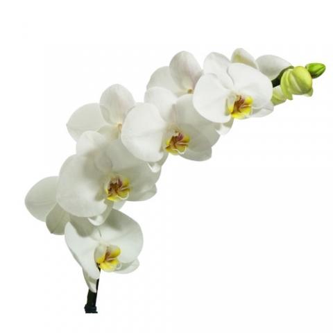 Orquídea Phalaenopsis Branca<br>pote 15 cm