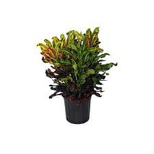 Croton Mammy <br>pote 19
