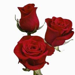 Rosa Freedom 40 cm <br>maço com 18 hastes