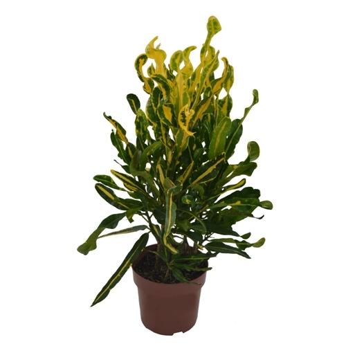 Croton Samba <br>pote 24 cm