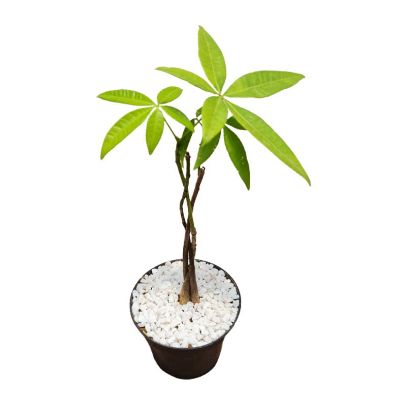 MONEY TREE - ÁRVORE DO DINHEIRO - POTE 11 CM