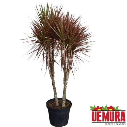 Dracena Tricolor<br>pote 30 cm