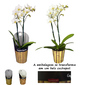 Orquídea Mini Phalaenopsis Branca <BR>pote 09 cm