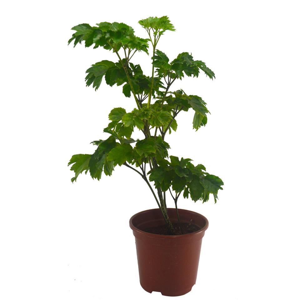 Árvore da Felicidade<br>pote 11 cm