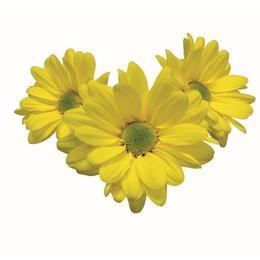 Crisântemo Margarida Amarelo 70 cm<br>maço com 20 hastes