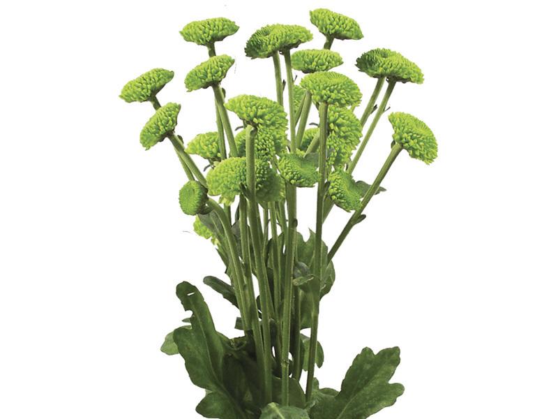 Crisântemo Pompom Verde 70 cm<br>maço com 20 hastes