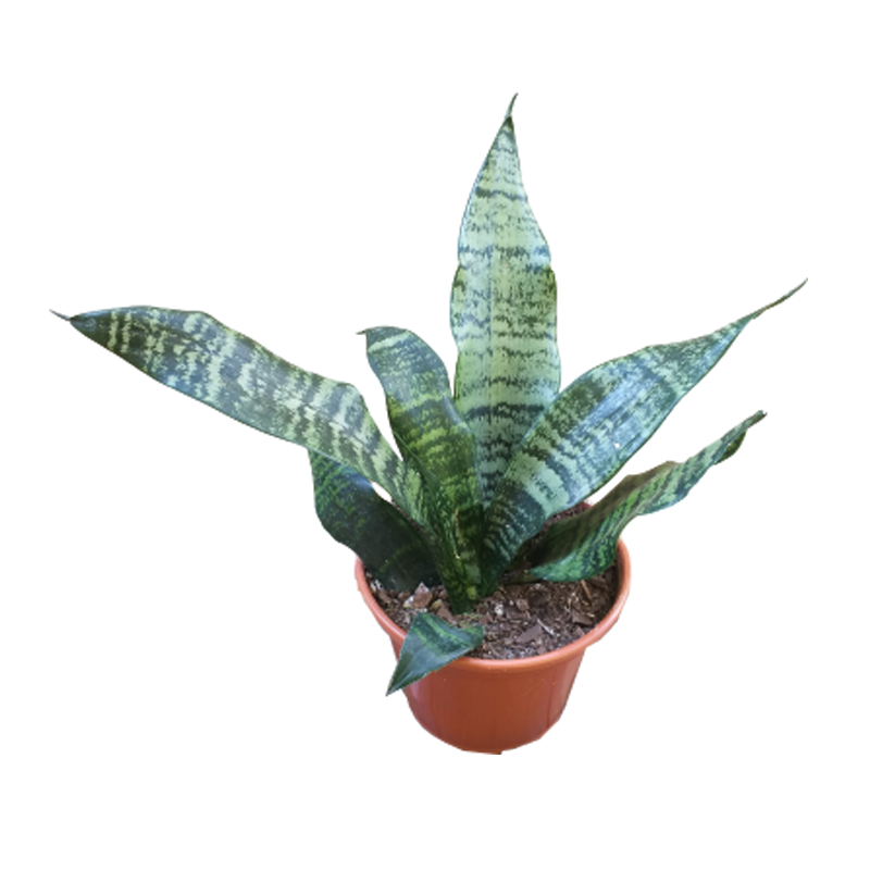 Sansevieria Trifasciata verde pote 15 cm