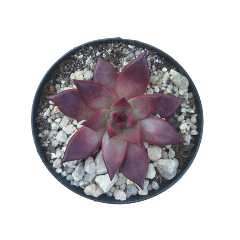 Suculenta Echeveria Atlas pote 11 cm
