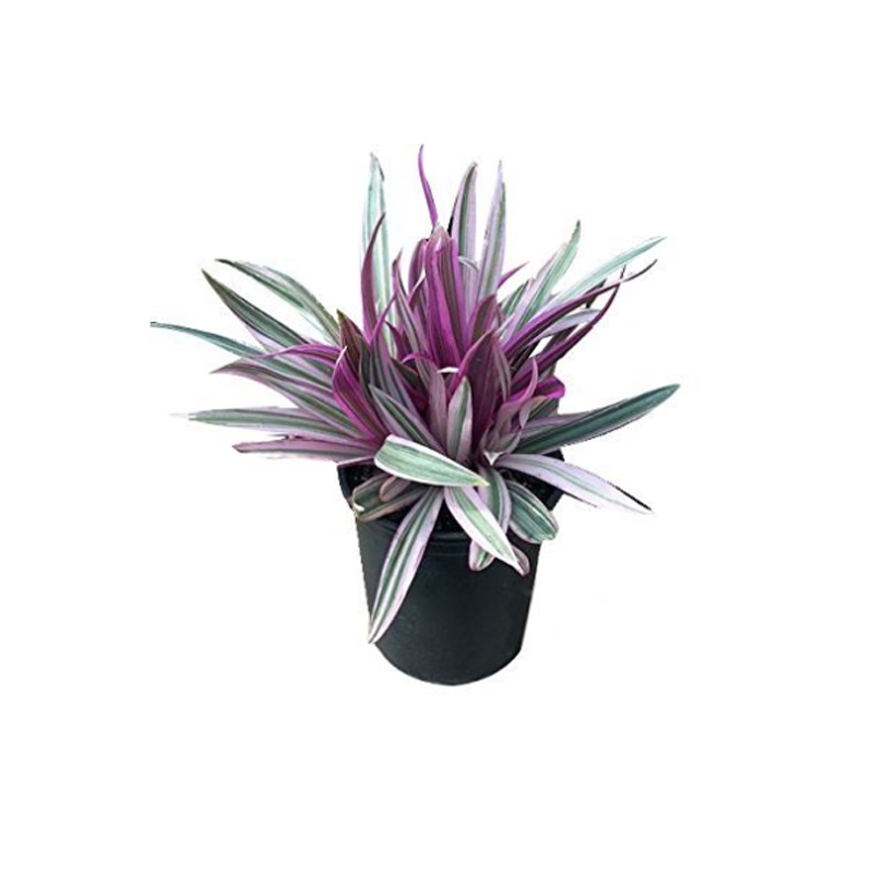 Abacaxi Roxo pote 14 cm