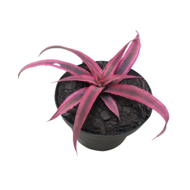 Bromélia Neoregelia Cryptanthus pink pote 11