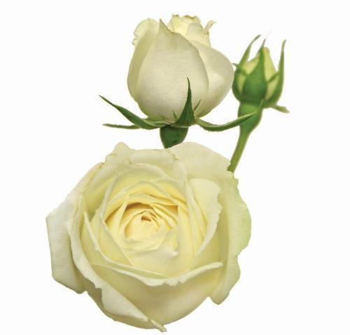 Rosa Spray White Rosever<br>maço com 10 hastes