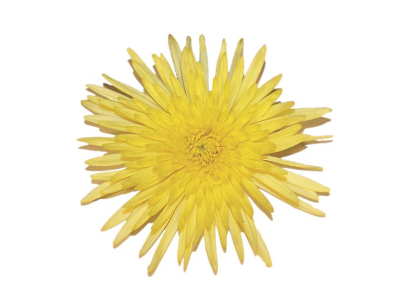 Crisântemo Anastasia Amarelo 70 cm<br>maço com 10 hastes
