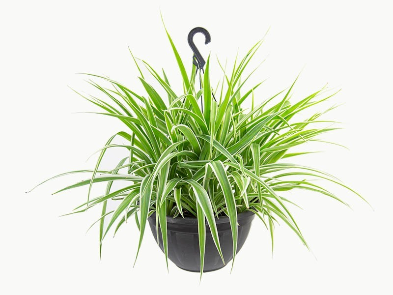 Clorofito meio vaso