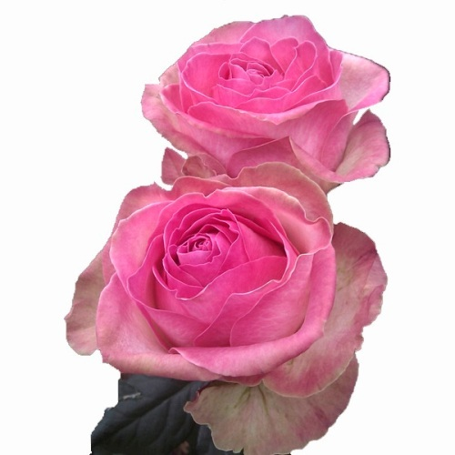 Rosa Candy Avalanche 40 cm <br>maço com 18 hastes