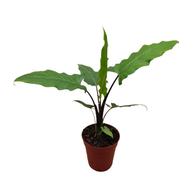 Alocasia Lauterbachiana pote 12 cm