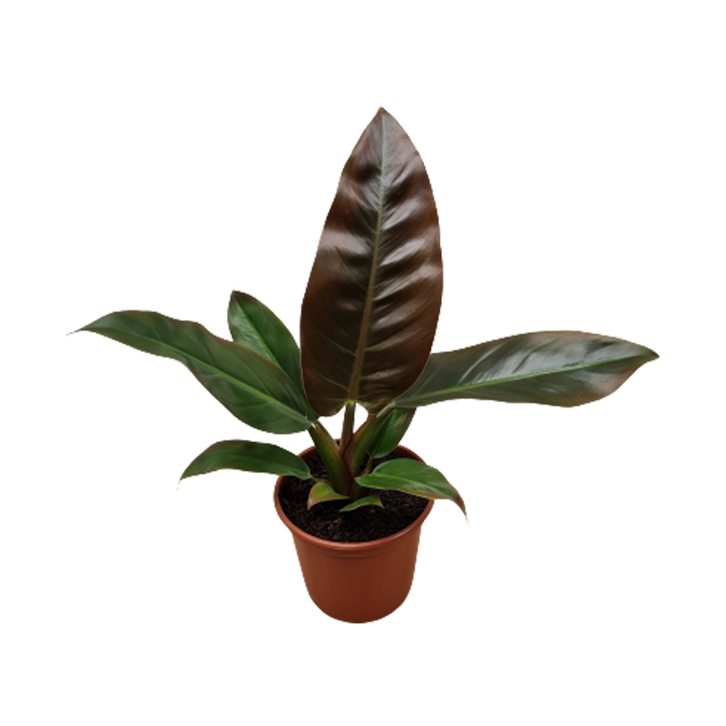 Philodendron Red emerald pote 19 cm