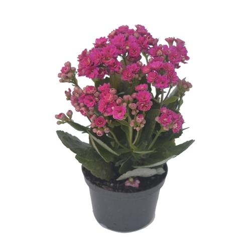Flor da Fortuna - Kalanchoe <br>dobrado pote 15 cm