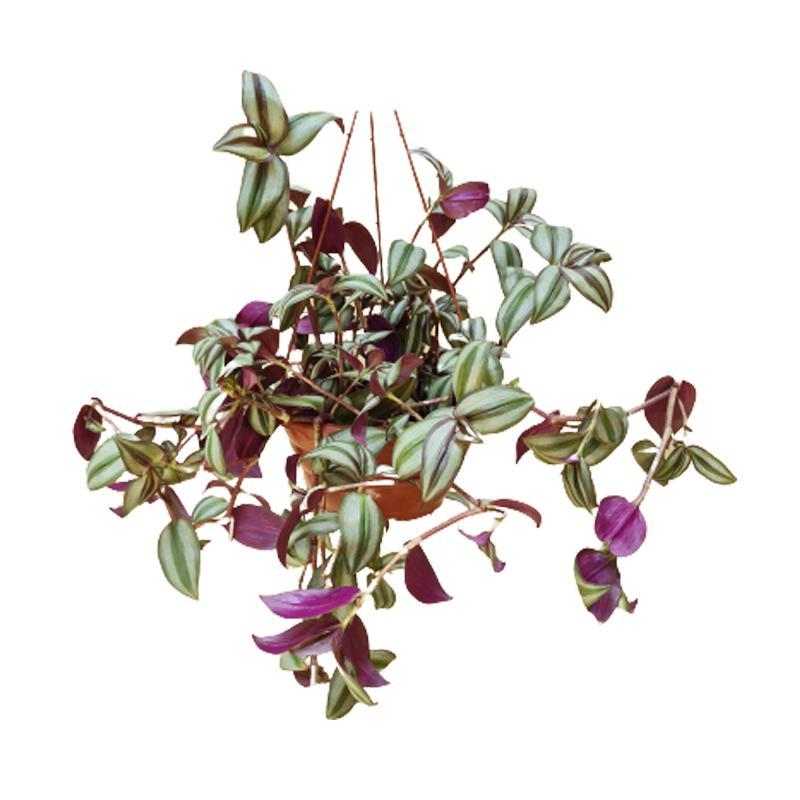 Lambari Zebrina cuia 21 cm
