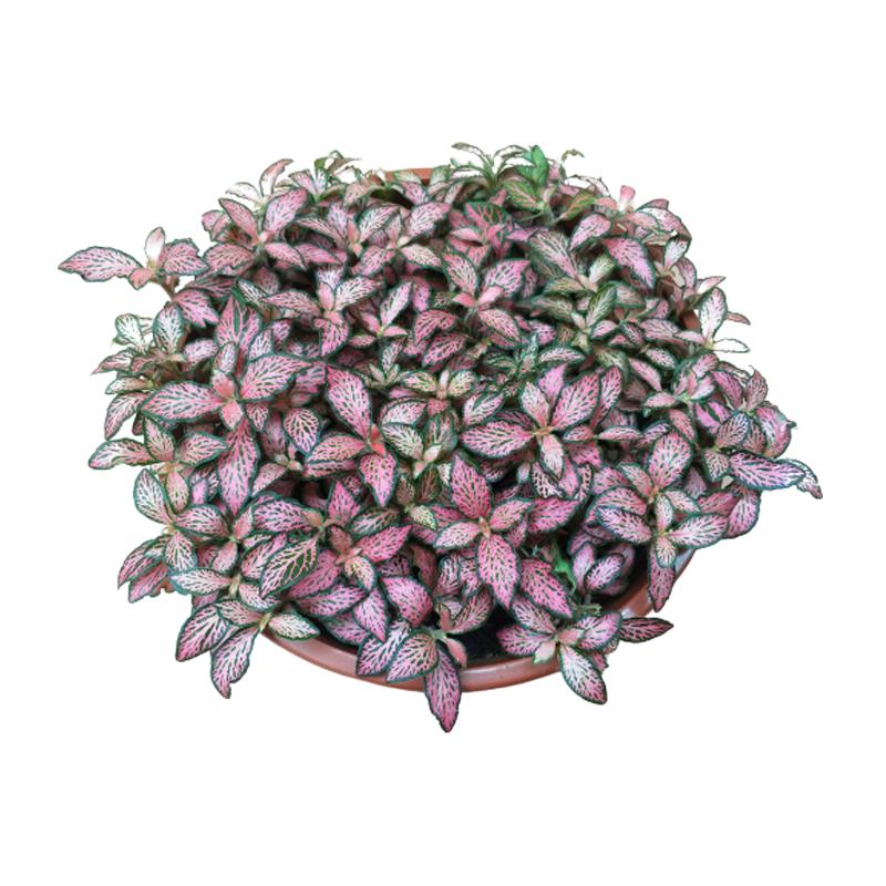 Fitônia Rosa- Planta Mosaico<br>cuia 21 cm