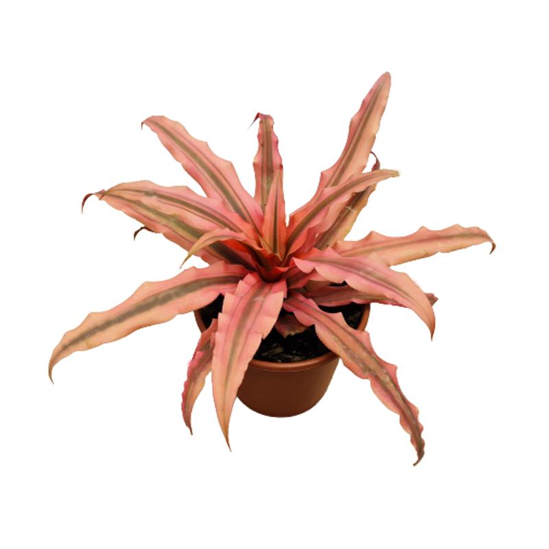 Bromélia Cryptanthus 'Arlety' pote 15 cm