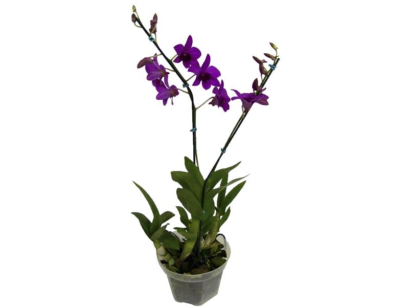 Orquídea Denphalen Pink<br>pote 13 cm