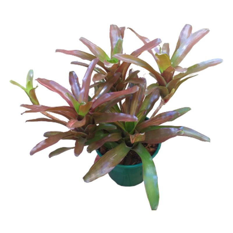 Bromélia Neoregelia Fireball pote 14