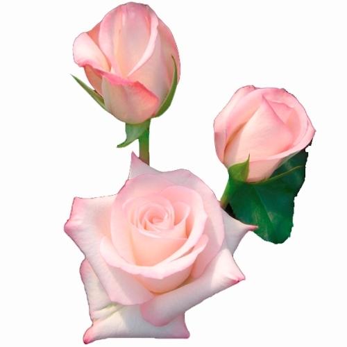 Rosa Vania 40 cm <br>maço com 18 hastes