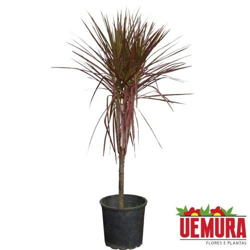 Dracena Tricolor<br>pote 24 cm