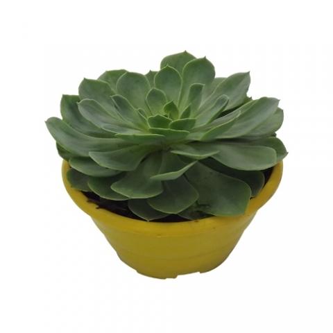 Suculenta Echeveria 03<br>cuia 21 cm