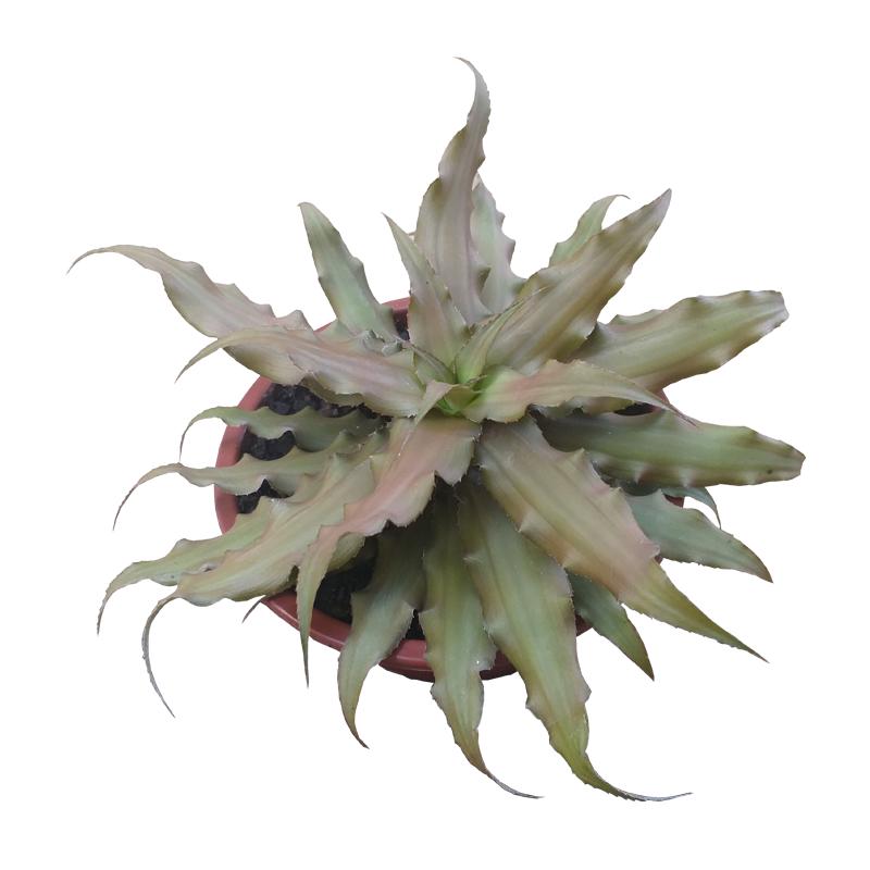 Bromélia Cryptanthus cuia 13 cm
