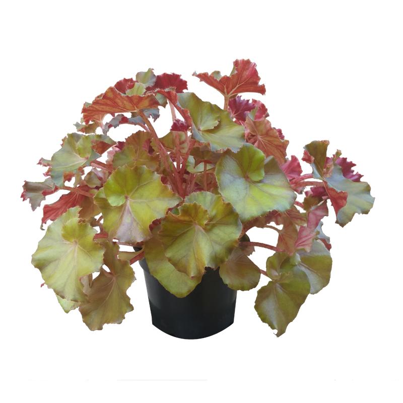 Begonia Jungle Brown pote 15 cm