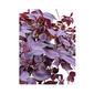 Tradescantia Zebrina Roxo cuia 21 cm