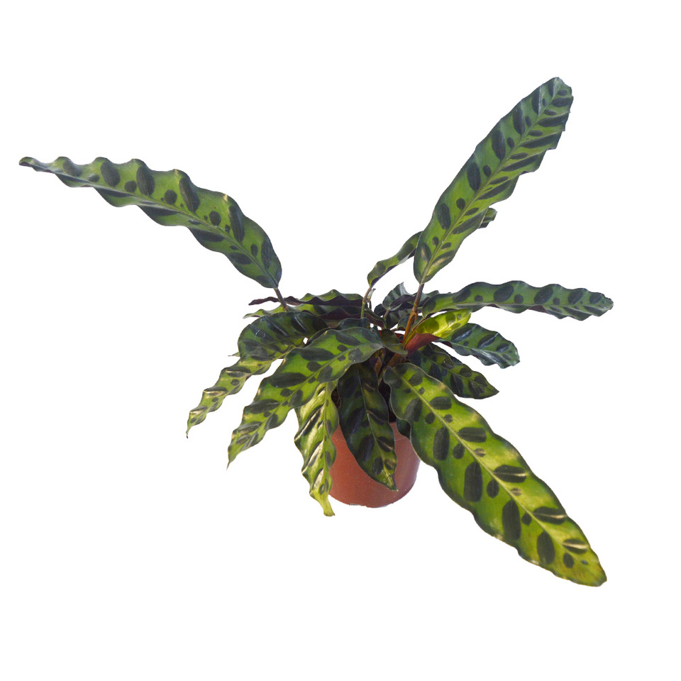 Calathea Cobra <br>pote 12 cm