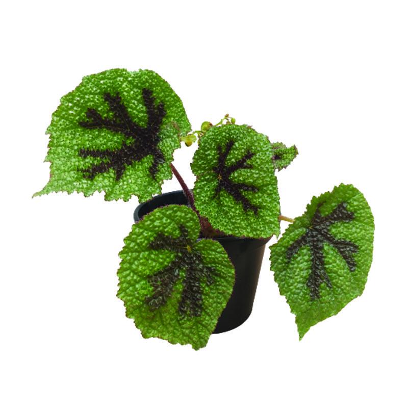 Begonia Cruz de Ferro pote 14 cm